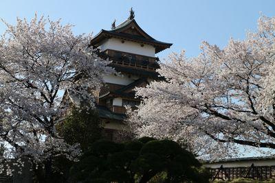 桜満開の高島城